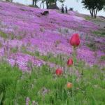 5月から6月かけて行こう!たきのうえの芝桜見物
