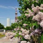 大通公園の花を楽しむ